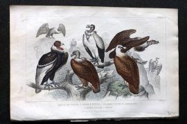 Goldsmith 1866 HC Bird. King of the Vultures, Sociable Vulture, Griffon Vulture.